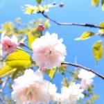 鎌足桜が開花しました